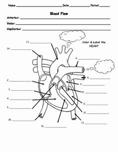 Anatomy and Physiology Worksheets High School Of 50 Circulatory System Worksheet Pdf