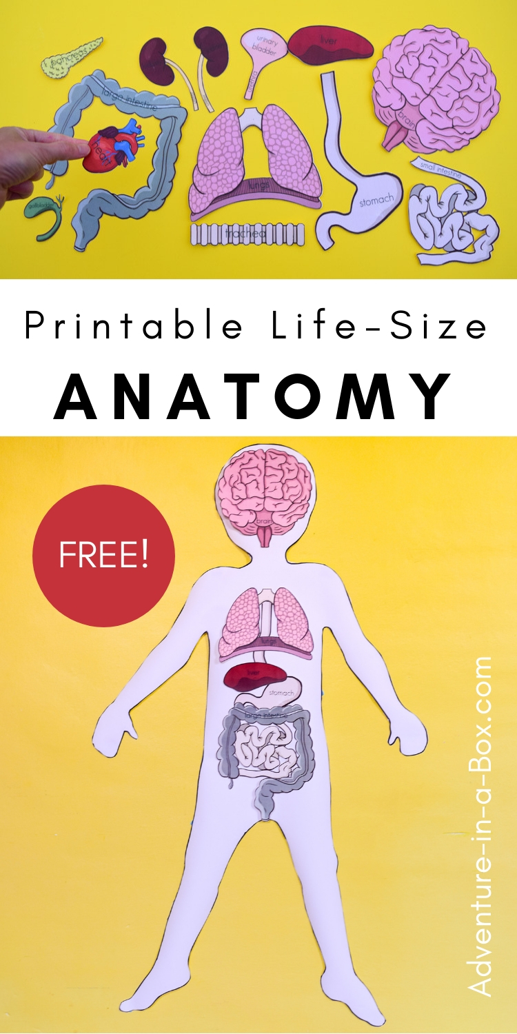 Human Body organs Worksheets Of Free Printable Life Size organs for Studying Human Body Anatomy with Children
