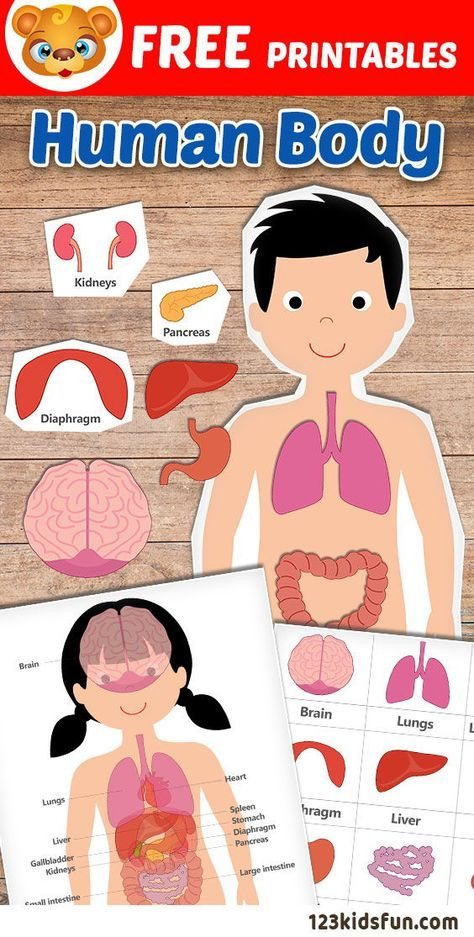Human Body organs Worksheets Of Human Body Printables Homeschooling