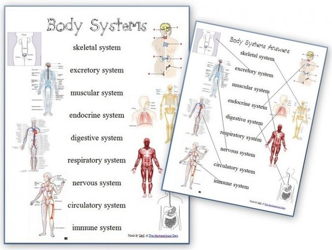 Human Body Systems Worksheets 7th Grade Free Of Free Human Body Systems Worksheets Homeschool Giveaways
