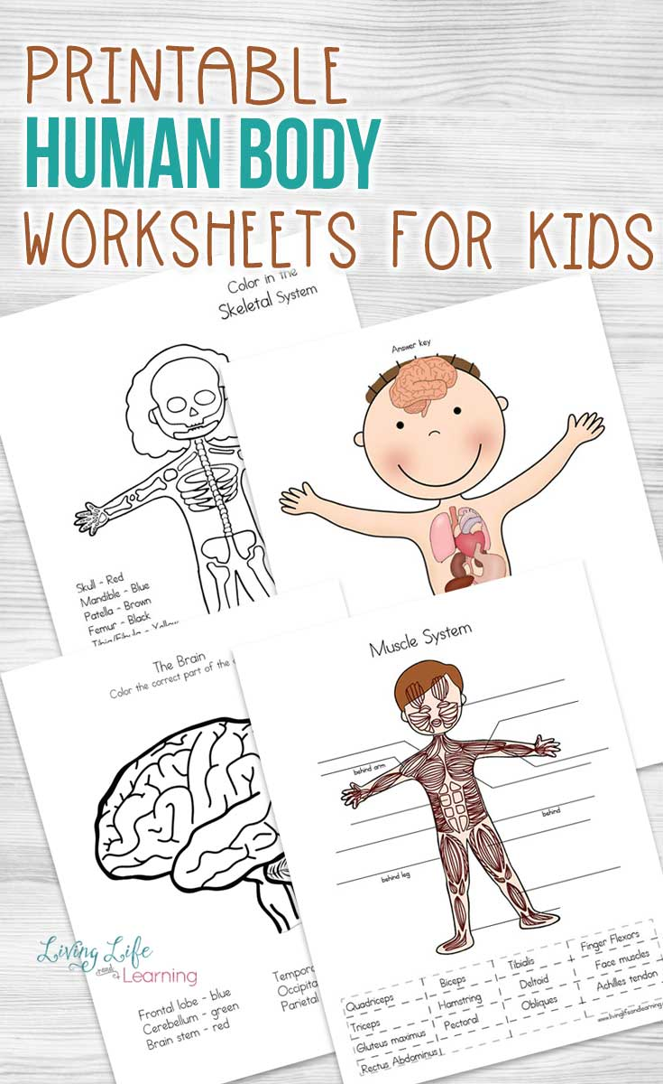 Worksheet On the Human Body Of Human Body Worksheets for Kids
